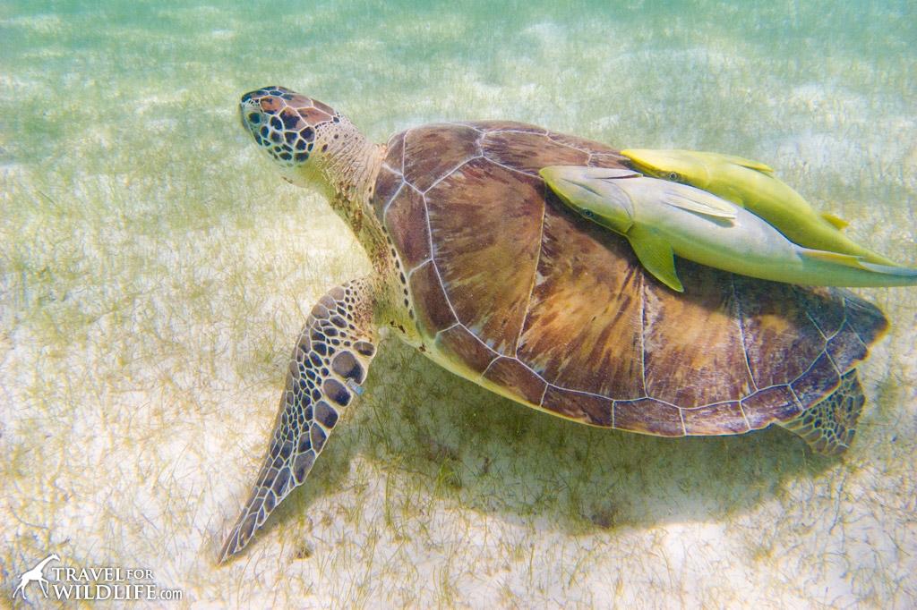 sea-turtle2